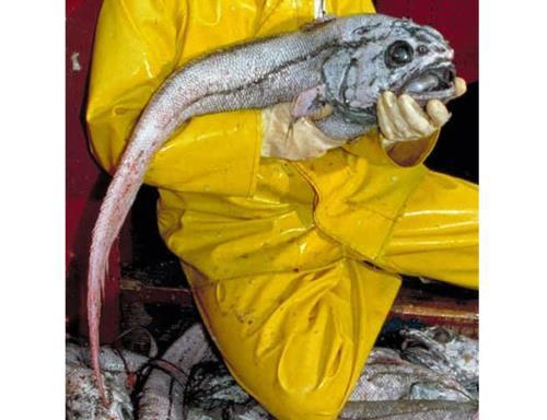 Predatory Tunicate
